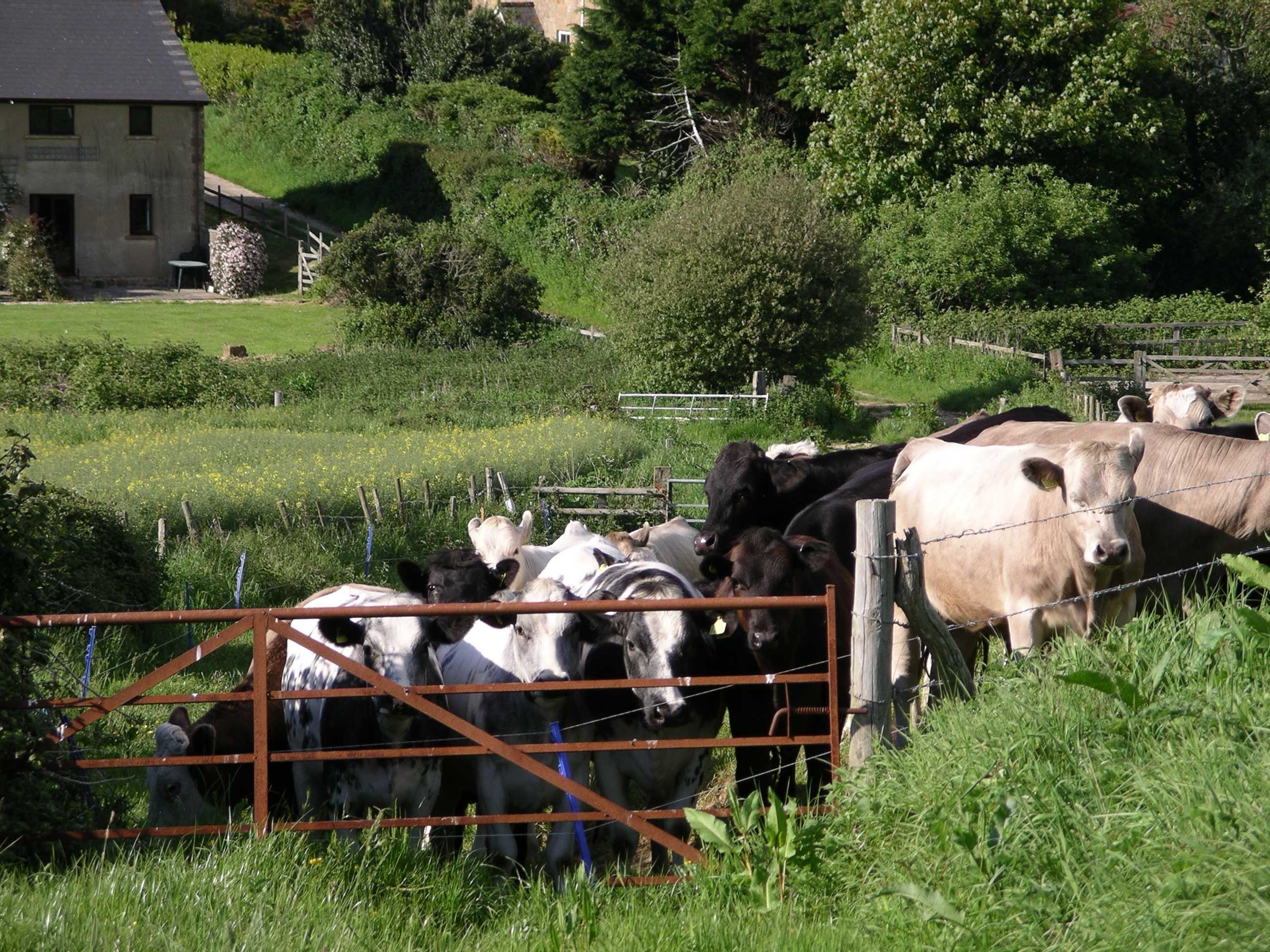Cows Small.JPG (642731 bytes)